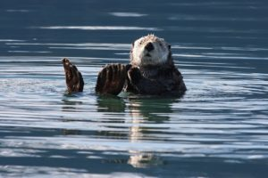sea-otter-1432794_960_720